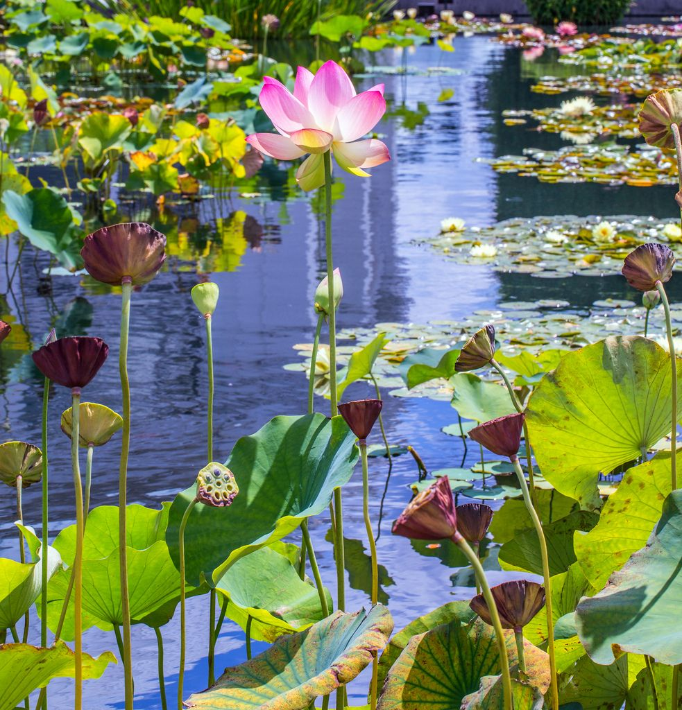 Lotus, lily pads and lotus seed pods in a pool