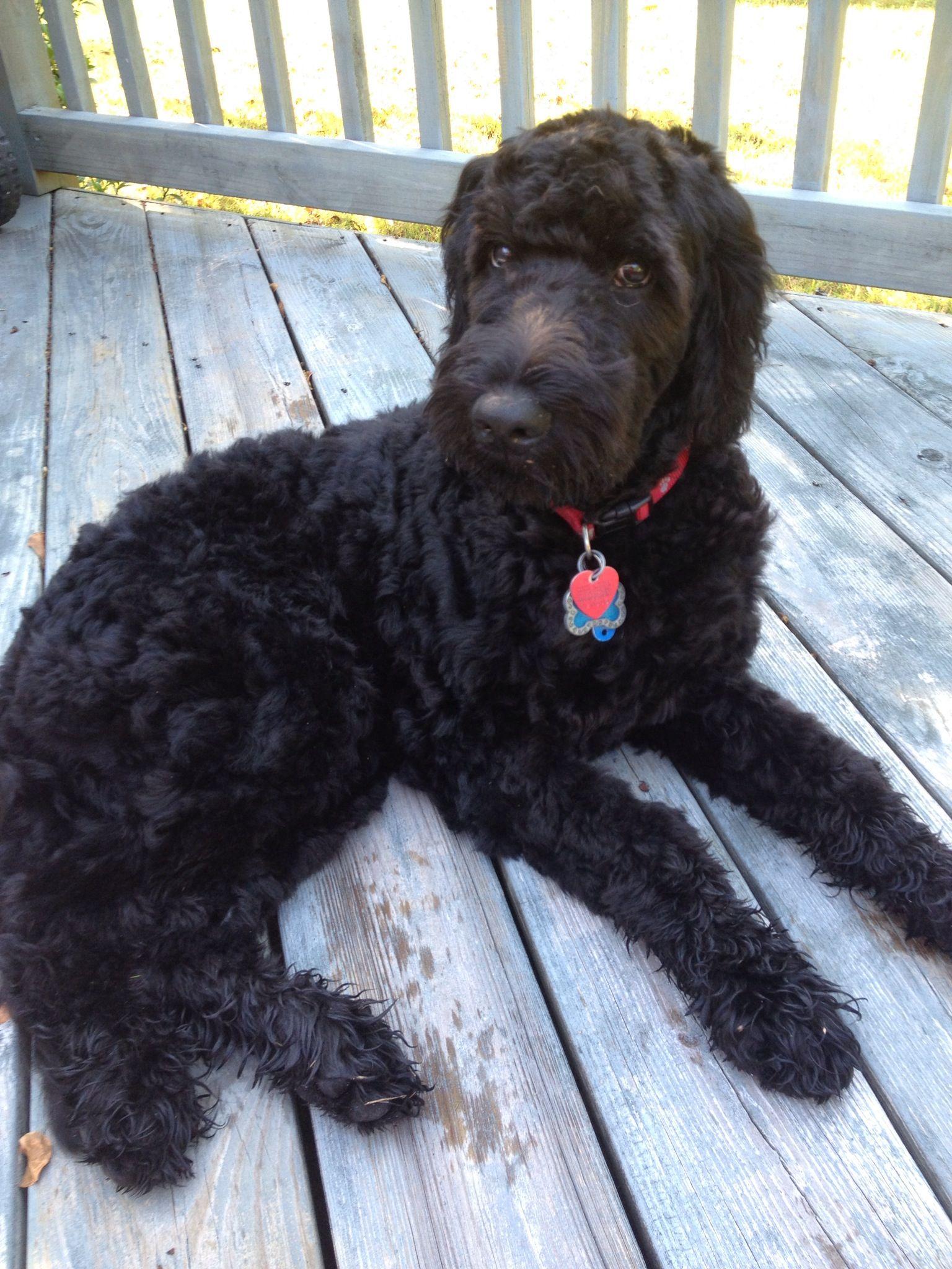 Black goldendoodle Doodle dog