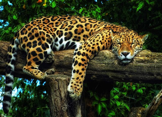 an overview of the feline species jaguar The jaguar is the largest wild cat in the western hemisphere although jaguar  populations are abundant in some areas, many are threatened by illegal hunting, .