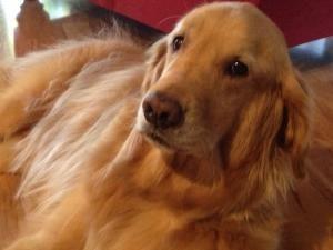 Adopt Baxter On Petfinder Dogs And Kids Golden Retriever Dogs Golden Retriever