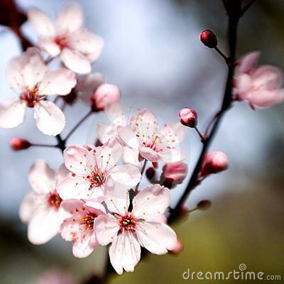 Beautiful Spring Is In The Air Cherry Blossom Art Sakura Cherry Blossom Cherry Blossom Tree