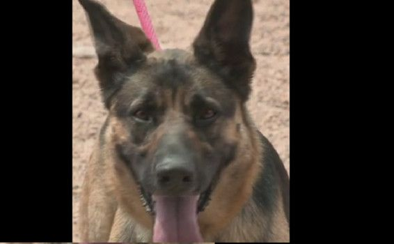 German Shepherd Puppy Found With Mouth And Paws Taped Shut Doing