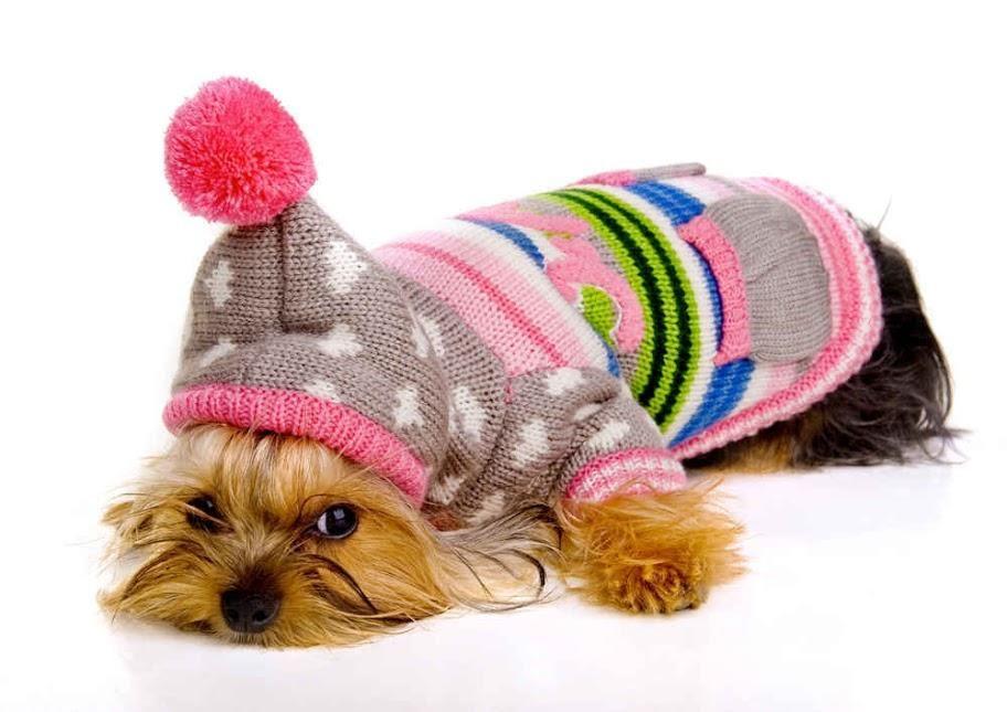 Yorkshire Terrier Caracteristicas Caracter Cuidados Y Mas Chalecos Para Perros Disfraces Para Perros Yorkshire Terrier