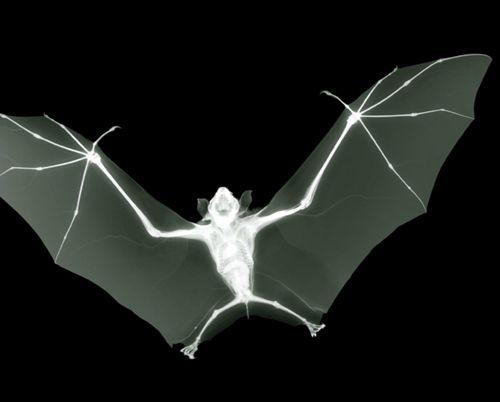 bat x-ray