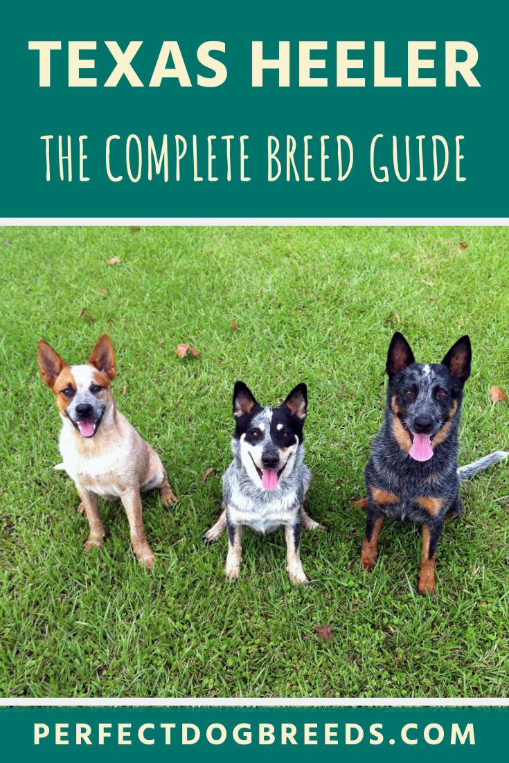 The Texas Heeler Breed Is A Cross Between A Cattle Dog And Either The Australian Shepherd Or A Border Collie Outside In 2020 Most Popular Dog Breeds Farm Dogs