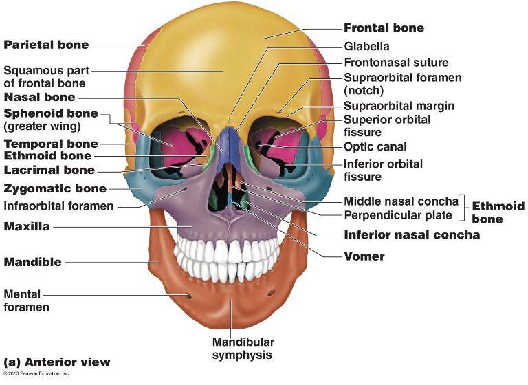 skull anatomy #3 | dental hygiene school | pinterest | skull, Human Body