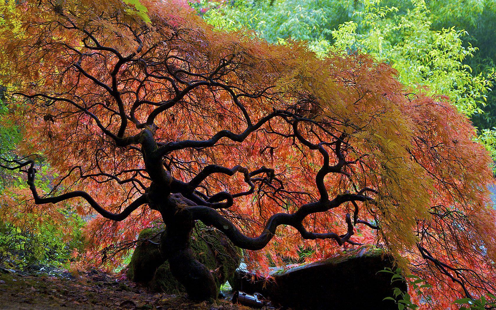 04-02-09 The Brilliance of Nature | Japanese maple, Portland ...