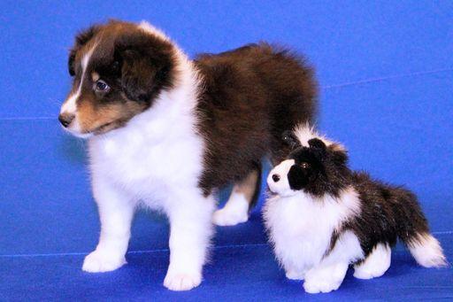 Litter Of 7 Shetland Sheepdog Puppies For Sale In Jacksonville Fl Adn 47655 On Puppyfinder Com Gender Mal Sheep Dog Puppy Shetland Sheepdog Puppies For Sale
