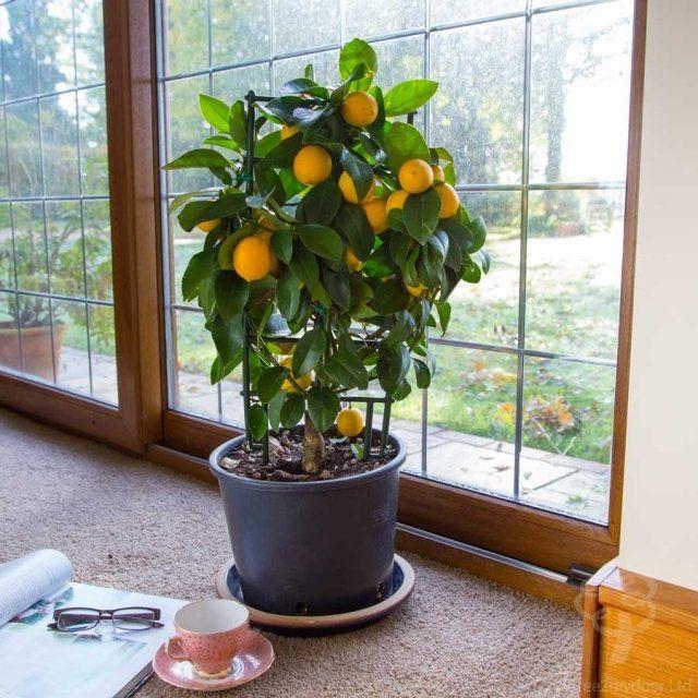 Une vraie oasis chez vous gr ce aux plantes d 39 int rieur citronnier plante interieur et - Faire pousser un citronnier ...