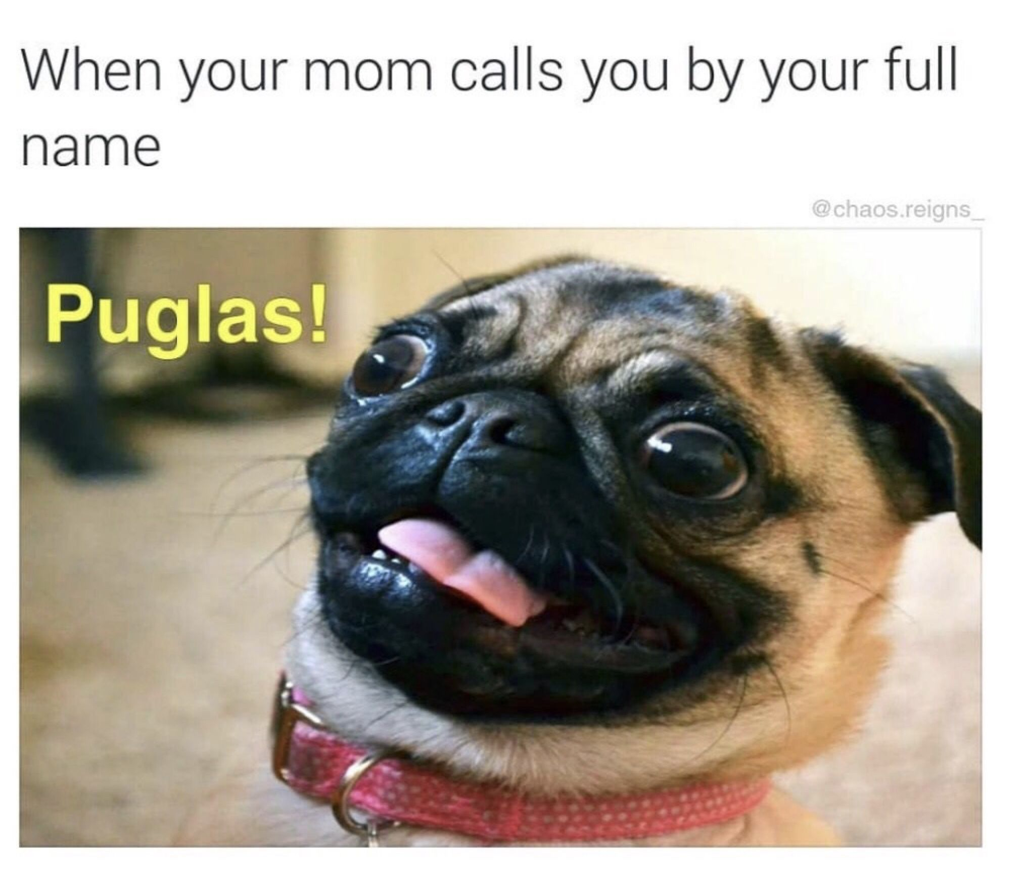 Pin By Jay Neselo On Pugs Funny Animal Quotes Pugs Funny Animal Memes
