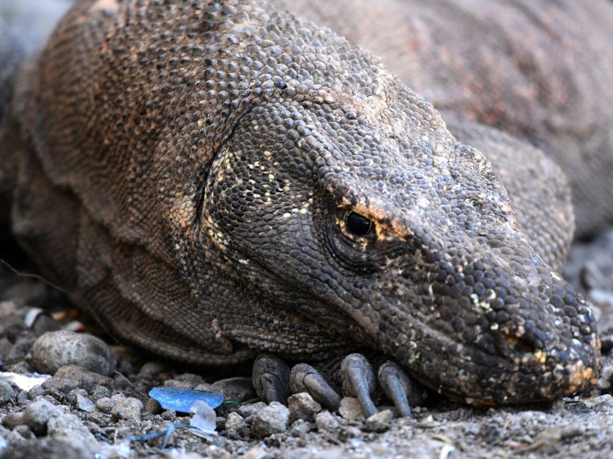 En Indonésie Un Projet De Jurassic Park Pour Le Dragon De Komodo Fait Polémique Dragon De Komodo Jurassic Komodo