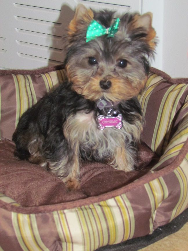 Charlie From Louisiana Yorkie Potty Trained By The Amazing Potty
