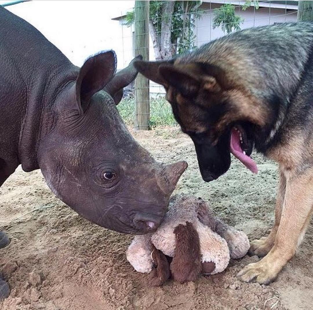 Gsd Duma Animals Friendship Cute Animals Animals Friends