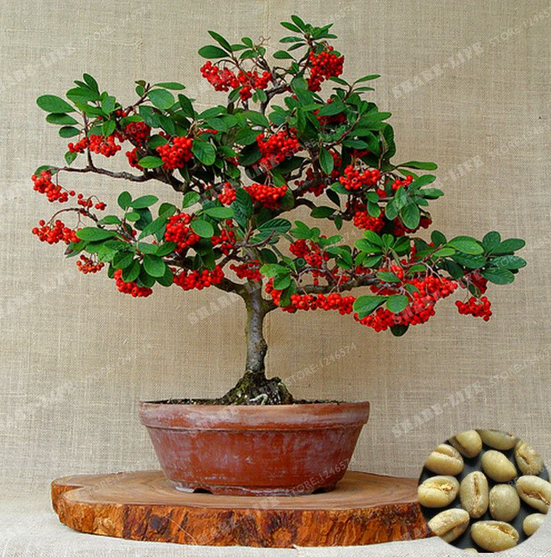 Coffee Beans Bonsai Green Organic Fruit Seeds For Home Garden (With images)   Bonsai tree types ...
