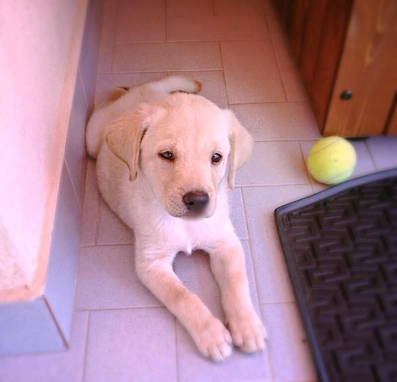 Labrador Training Hq Labtraininghq On Twitter Labrador Training Labrador Puppy Labrador