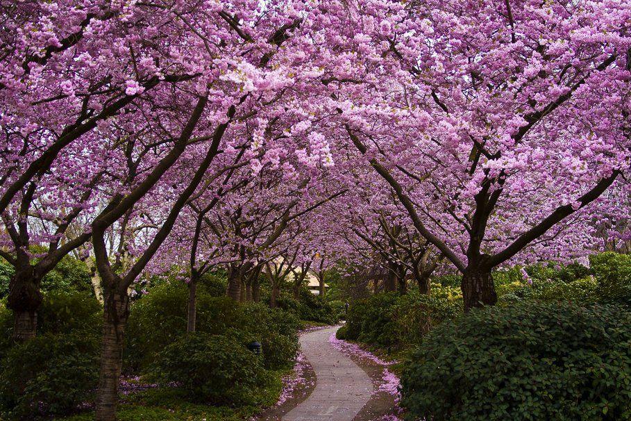 Japon Cerisiers Fleurs Fleurissant Parc Allee Bush Wallpaper