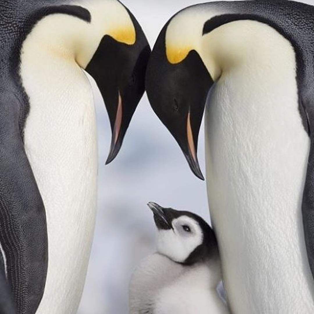 Baby emperor penguin stays with its parents at the polar house of - Emperor Penguins And Chick In Antarctica Poster