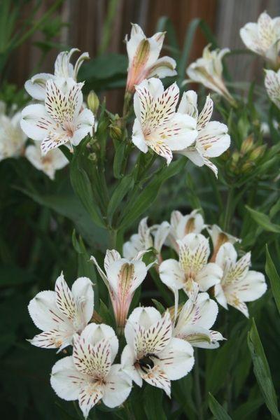 Alstroemeria Casablanca Alstroemeria Pollinator Plants Dry Shade Plants