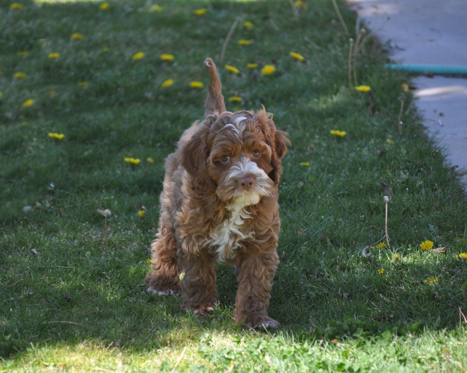 Cockapoo Puppies for sale in Southern California. We are a