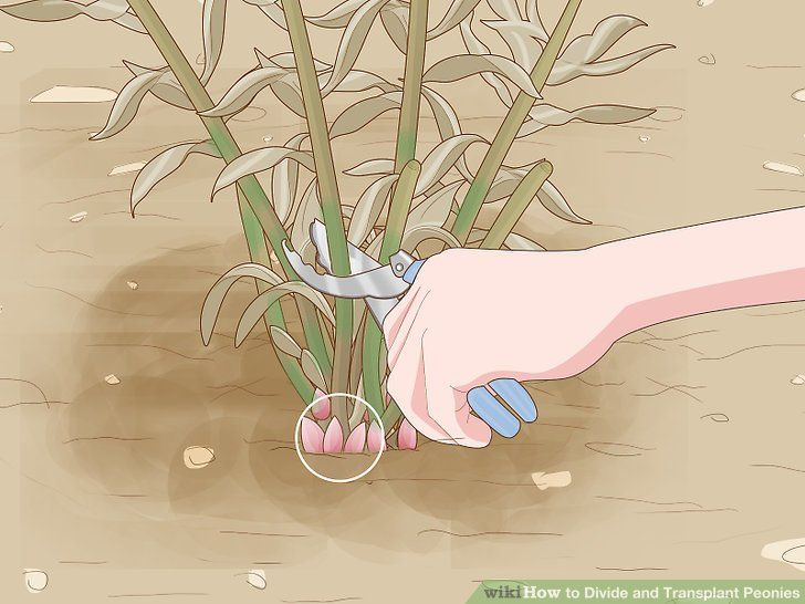 Photo of How to Divide and Transplant Peonies: 11 Steps (with Pictures)