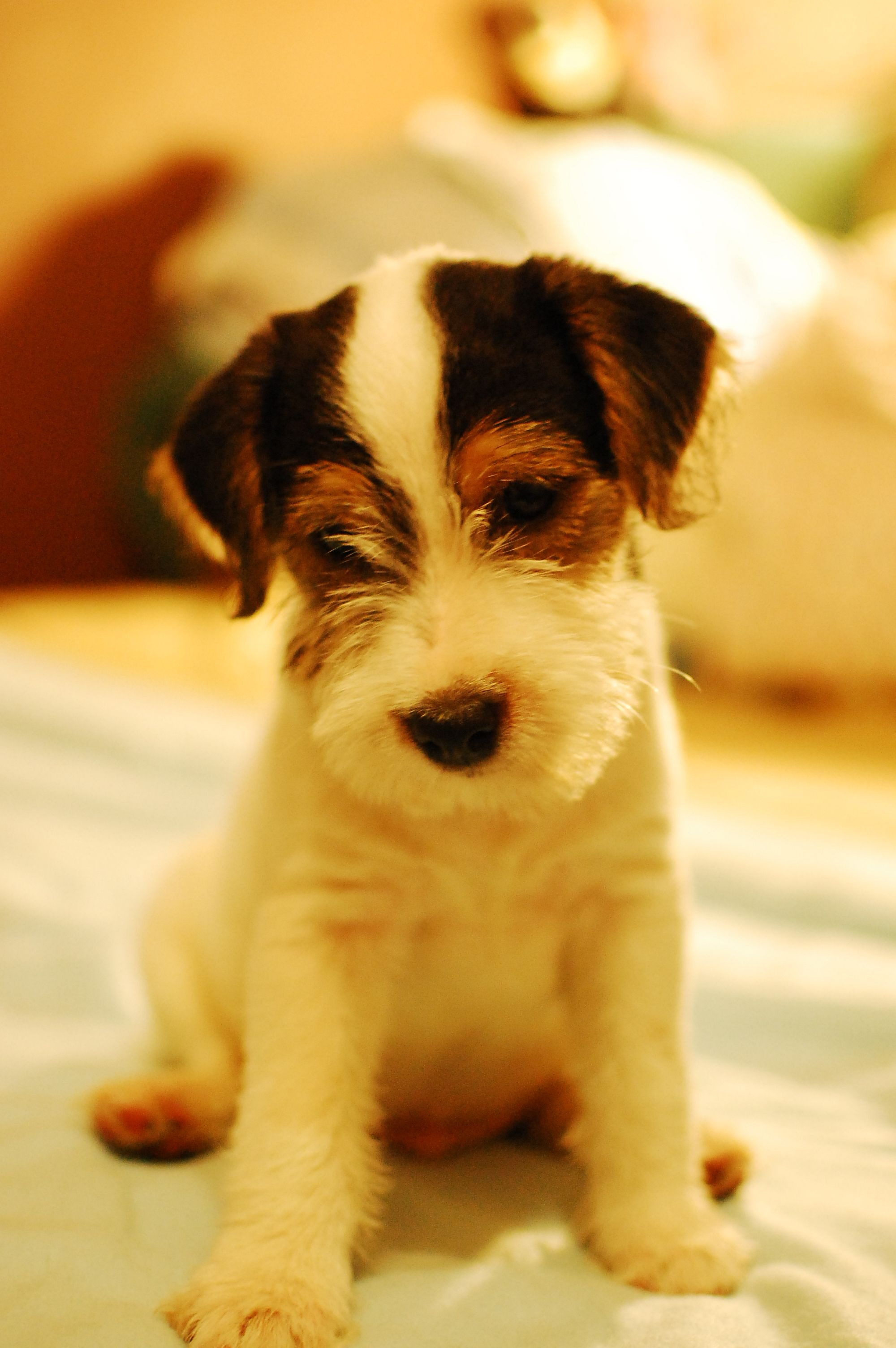 2 Month Parson Russell Terrier Jack Russell Dogs Parsons
