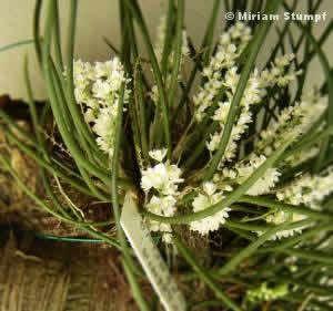 Orquídea capanemia superflua -