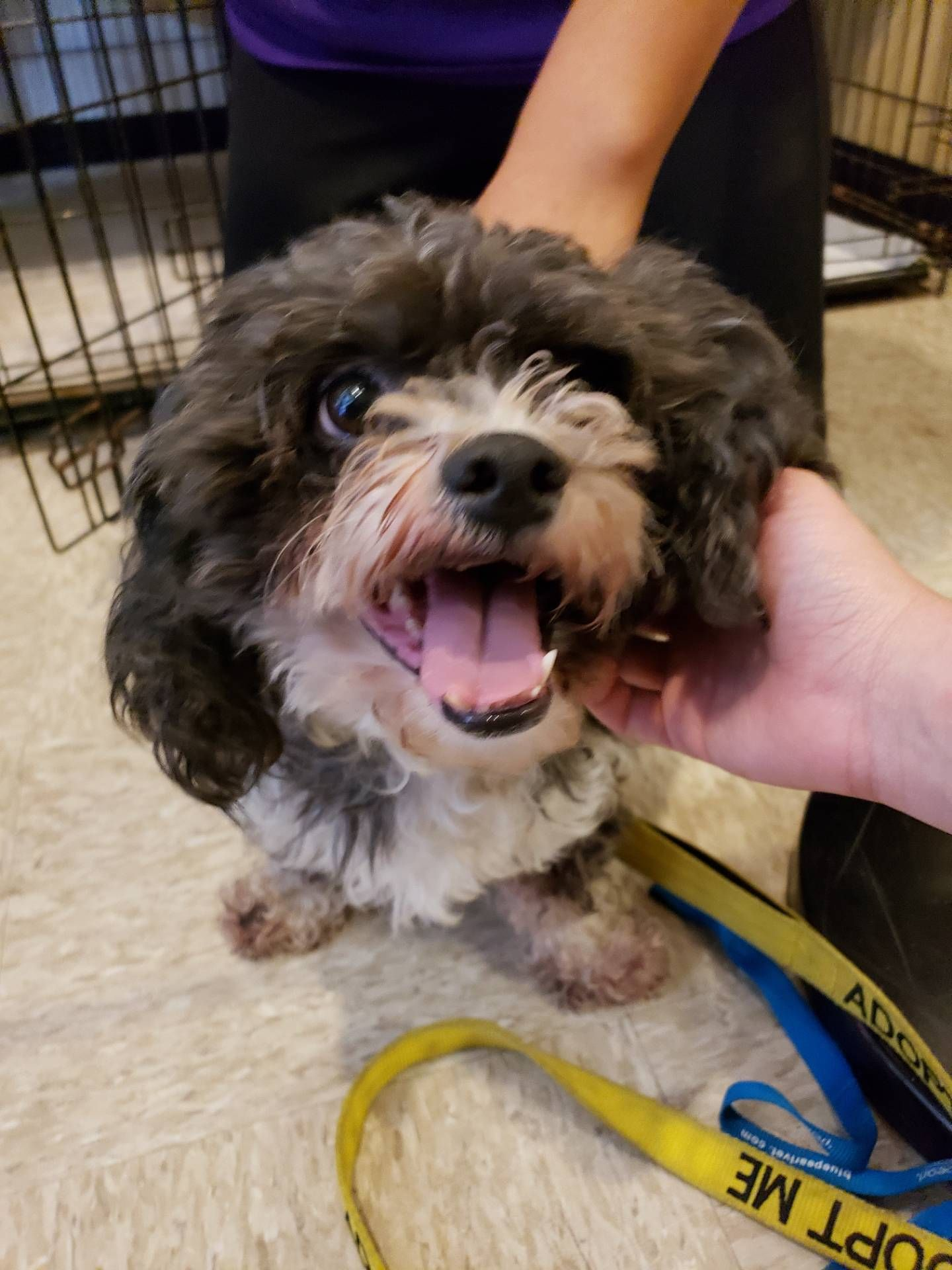 Adopted 2 Year Old Poodle Mix Puppy Was Found As A Stray And Needs
