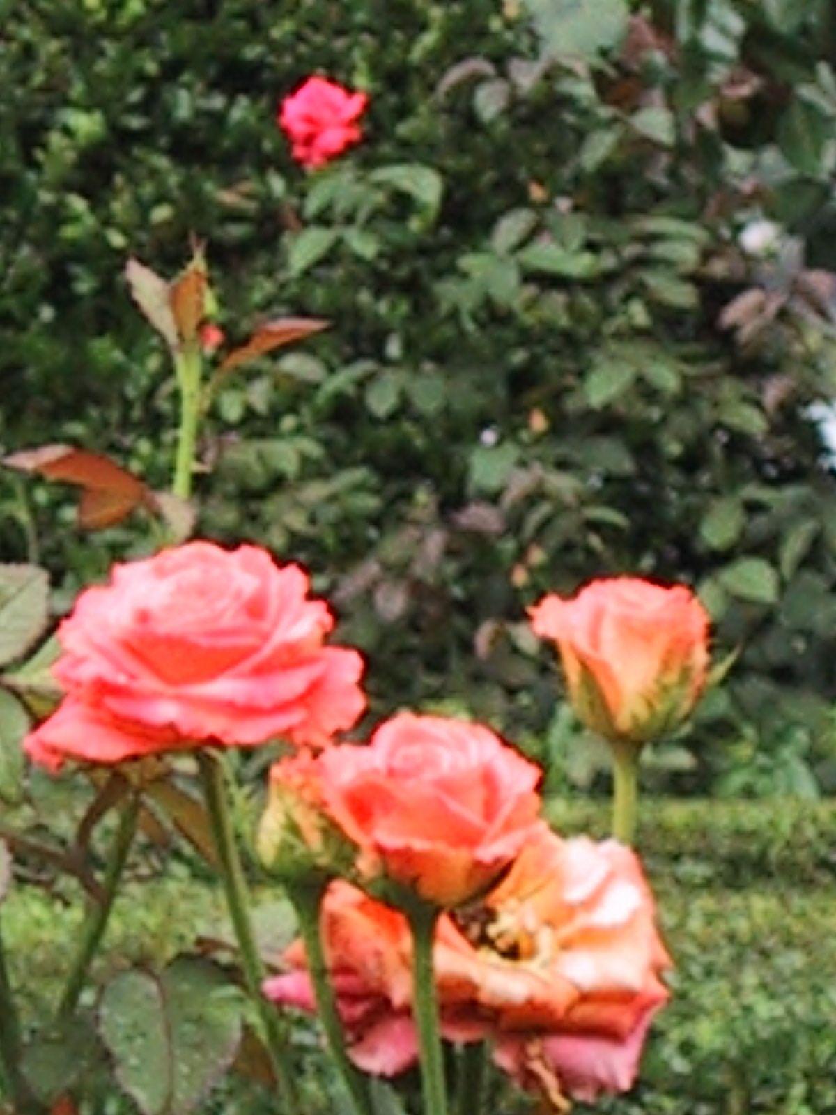Roses in Furman Rose Garden, Greenville, SC