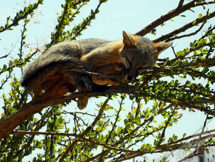 Foxes can sleep anywhere, just like cats!