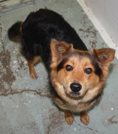 Keller Tx Annie Is A 2 5yr Spayed Rough Collie German Shepherd
