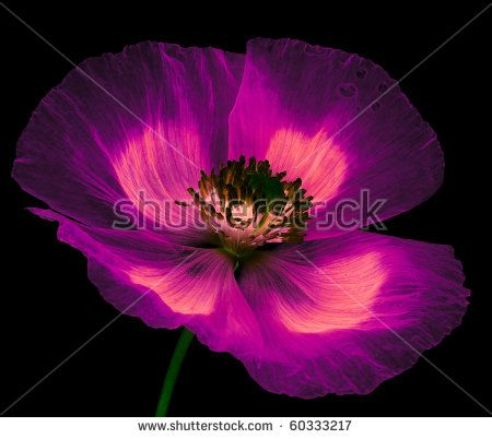 magic flower - poppy