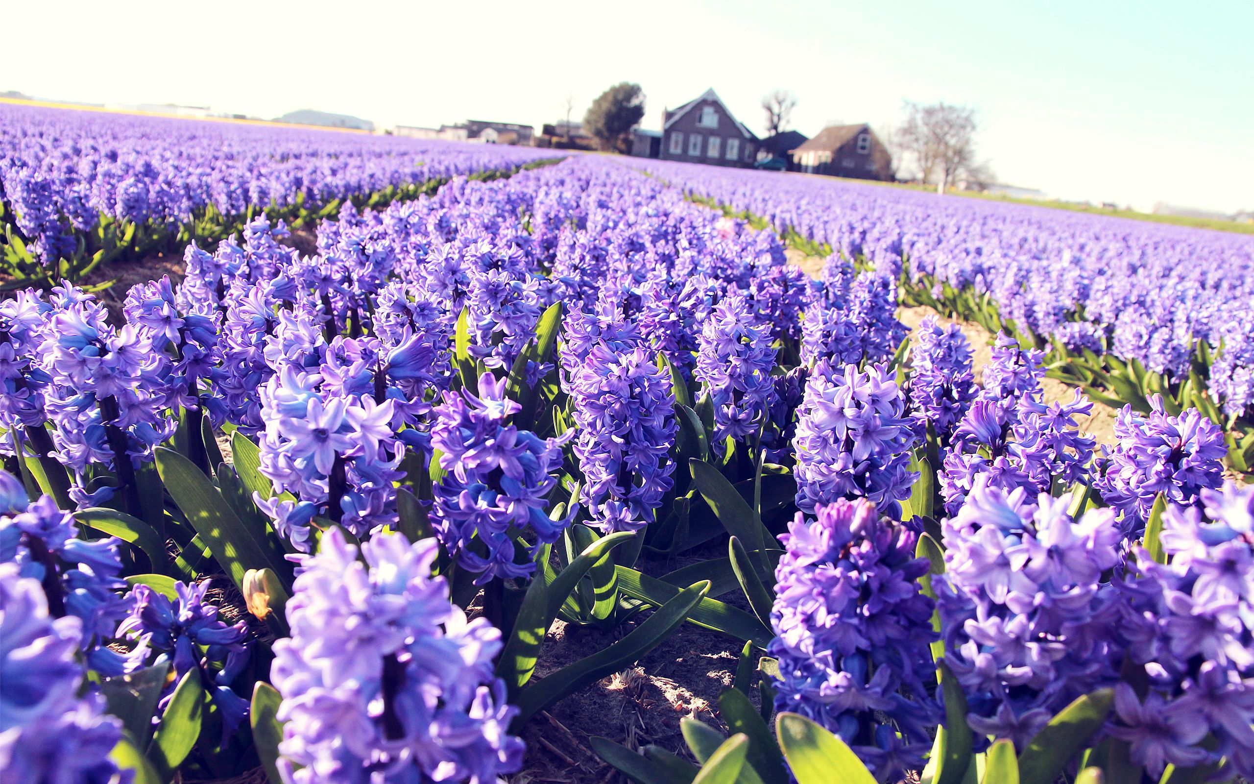 Image result for hyacinth field wallpaper
