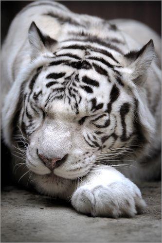 premium poster schlafender wei er tiger tigers wei e. Black Bedroom Furniture Sets. Home Design Ideas