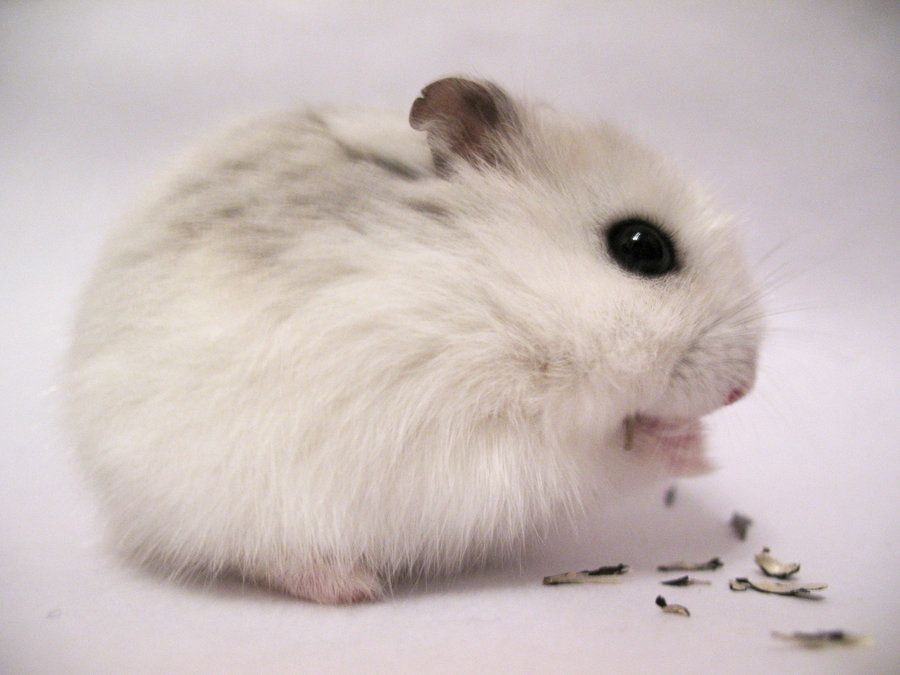 About Winter White Hamster: Types, Care, And Food Listing