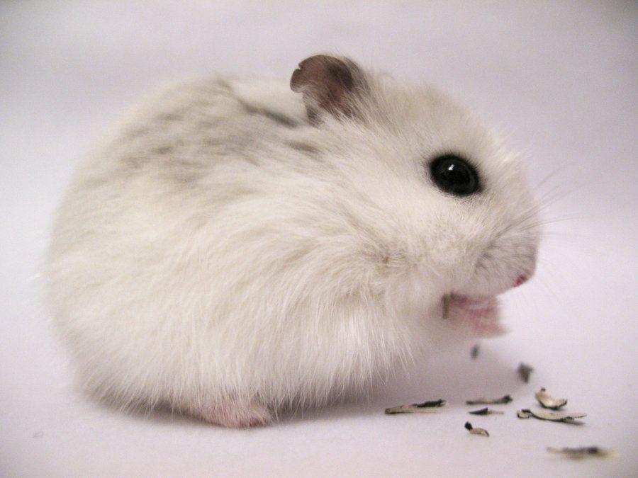 winter white dwarf hamster xox by ~tigereyes14 on ...