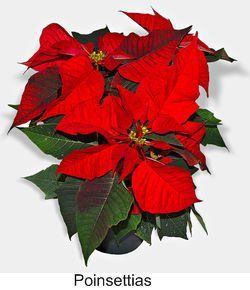 Poinsettias House Plant Poisonous To A Cat Poinsettia Plant Plants Garden Plants