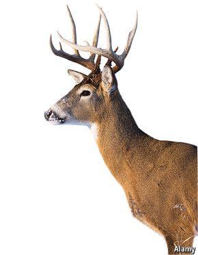 Deer Side View : Drawing,, Animal, Heads