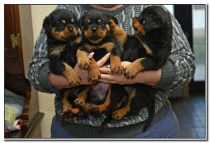 Vom Bullenfeld Rottweilers Rottweiler Puppies For Sale In Missouri