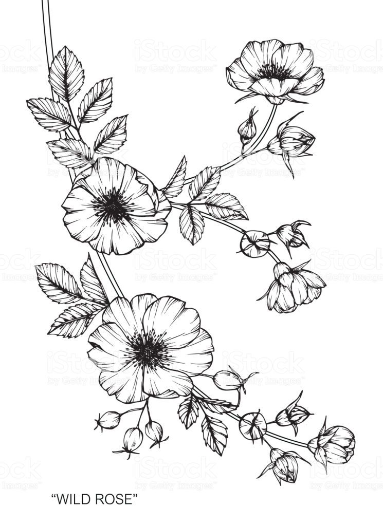 Hand drawing and sketch Wild rose flower. Black and white