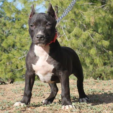 Ukc Registered Black Pitbull Bully Pup Female Pitbull