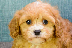 Teddy Bear Puppies For Sale In Ohio, Teddy Bear for Sale