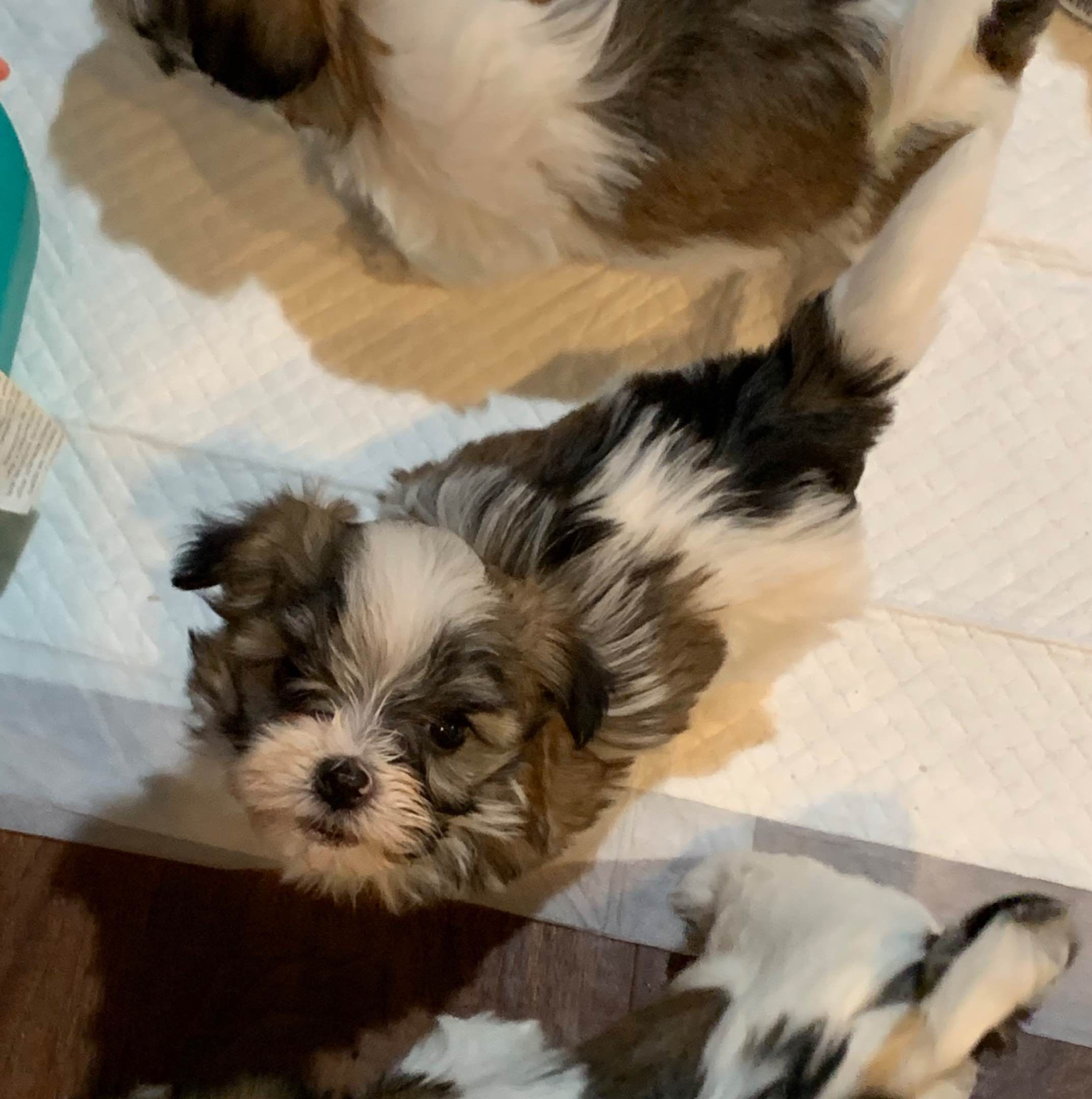 Marcy Skirvin Has Havanese Puppies For Sale In Woodville Oh On Akc Puppyfinder In 2020 Havanese Puppies Cute Puppies Havanese Puppies For Sale