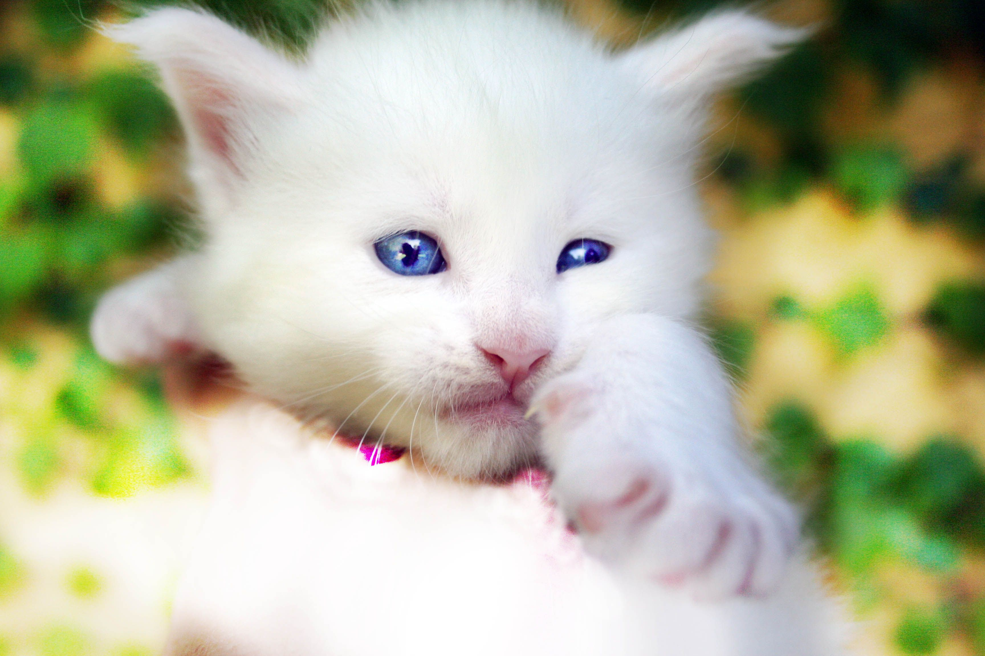 Pin on Beautiful White kittens longhaired and short just