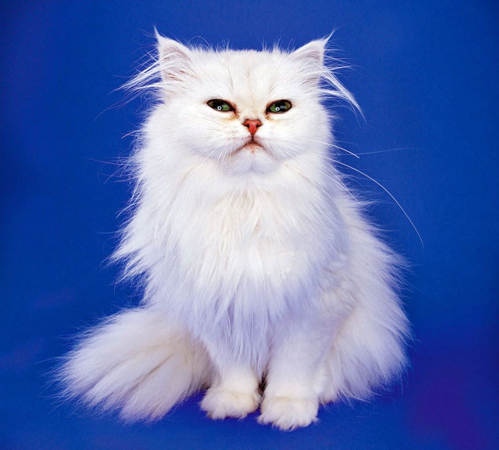 Top 10 Basic House Cat Breeds Cat Breeds Big House Cats Cat With Blue Eyes