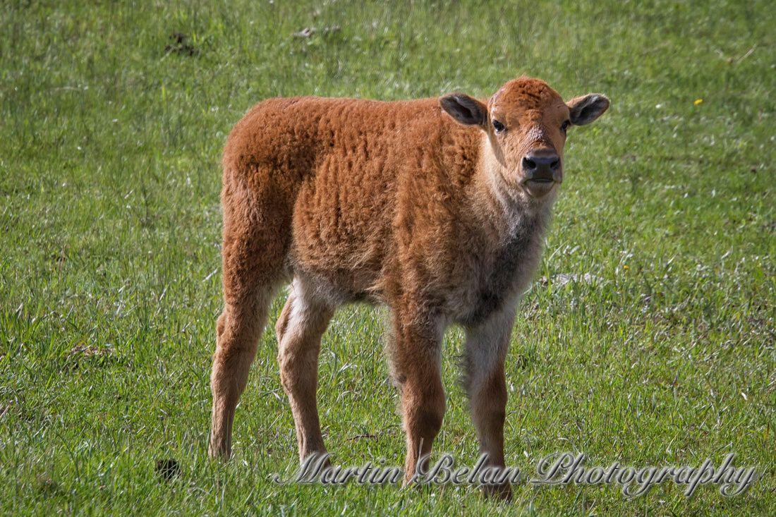 Yellowstone Wildlife Yellowstone, Bison Calf