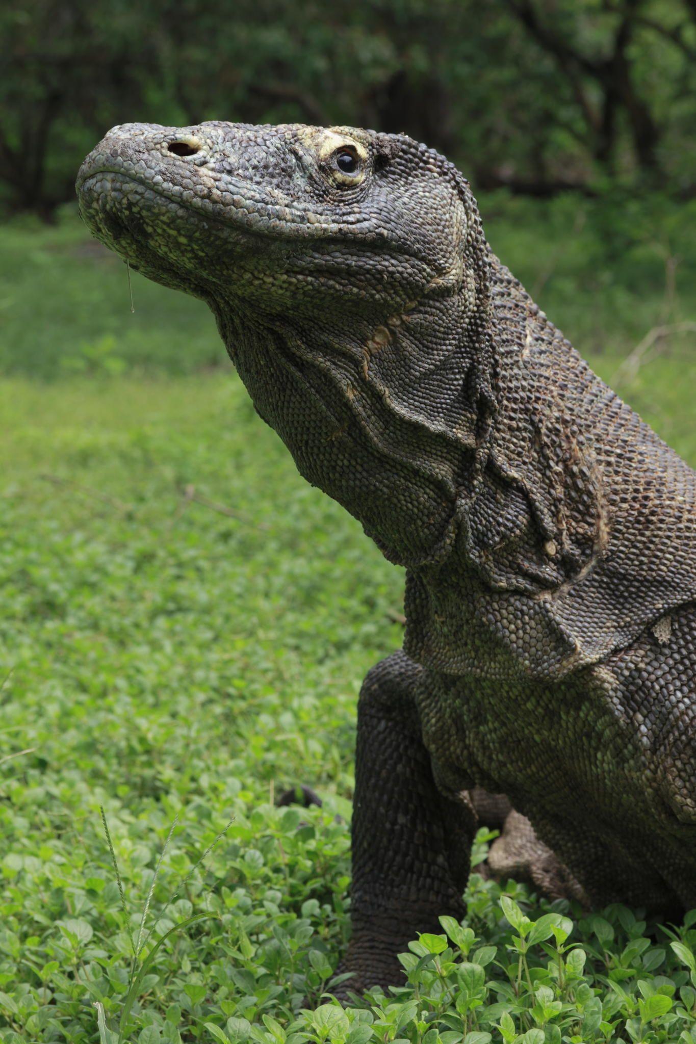 Komodo Dragon (Varanus komodoensis) | Reptiles | Pinterest | Dragons ...