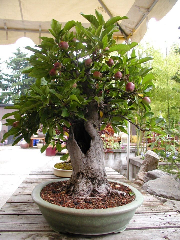 Bonsai apple tree garten pinterest sortieren for Bonsai pflanzen