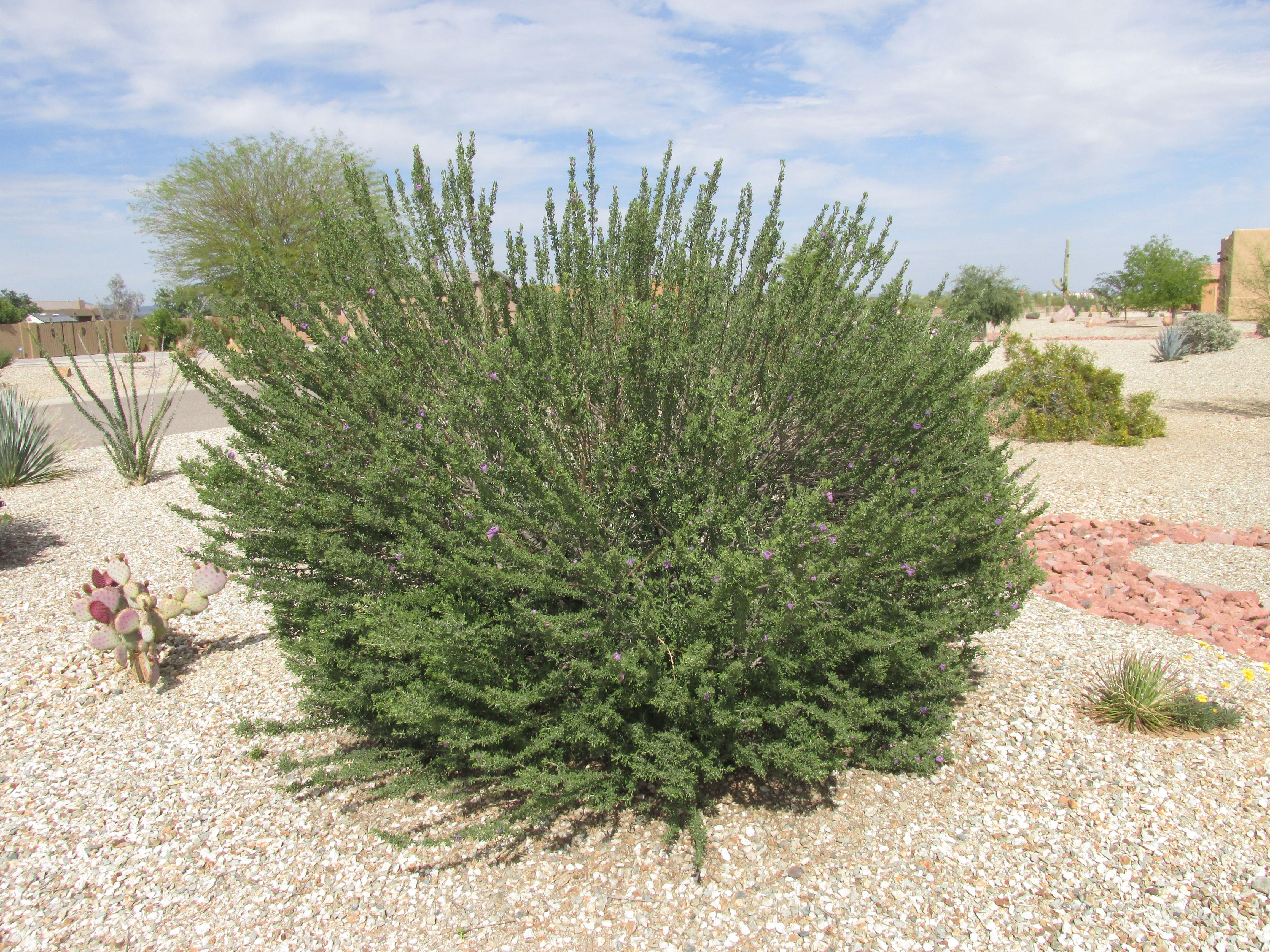 Bushes Shrubs Landscape Plants