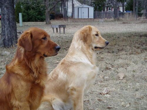 A Red A Blonde Golden Retriever Both Equally Beautiful