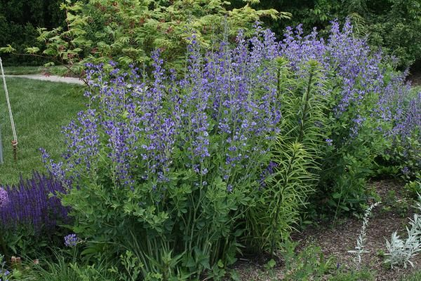 Image result for baptisia